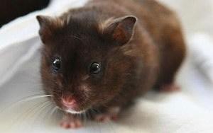 hamster-scared-blanket