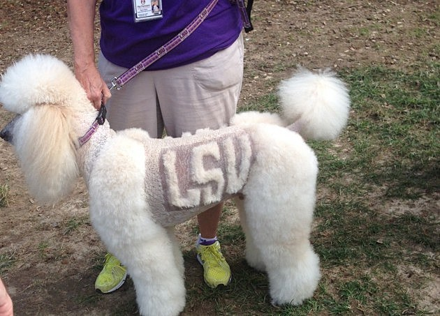 lsu shaved dog