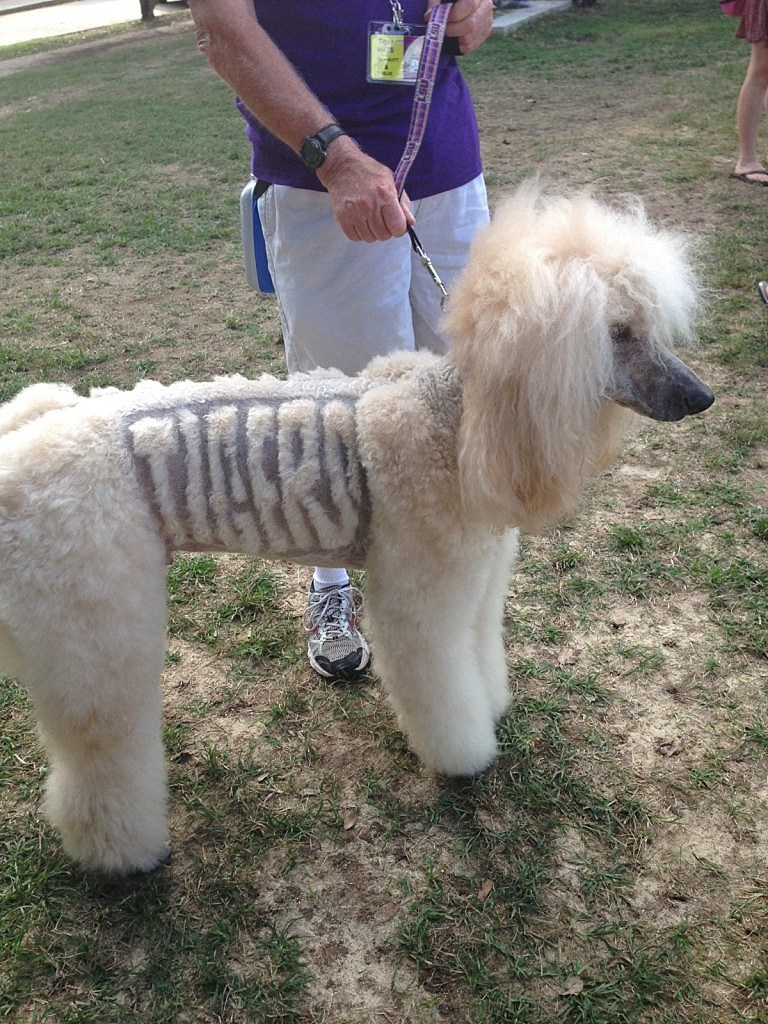 dog with lsu shaved in its fur