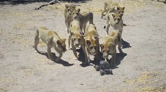 car l pride of lions
