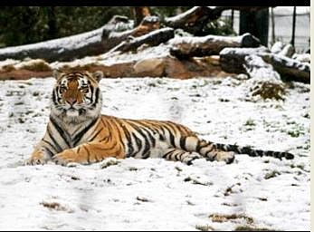 Mike the Tiger in Snow