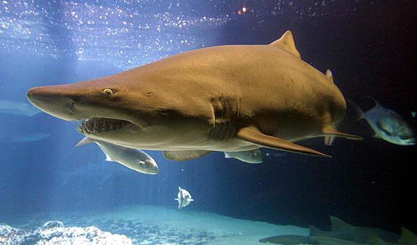 Shark Alert In Florida